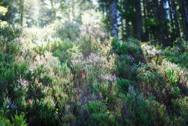 Blühende Heide am Sankenbachsee
